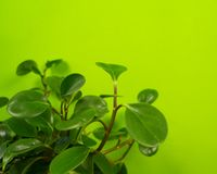 Peperomia home flower of green color. lime background. The decor is inside the apartment. Nature tropics stock photo
