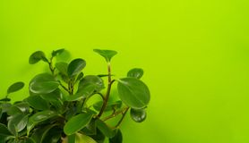 Peperomia home flower of green color. lime background. The decor is inside the apartment. Nature tropics royalty free stock images
