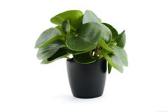 Peperomia obtusifolia Crocodile tears Stock Photos
