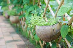 Peperomia pellucida Korth in spathe hanging with bamboo fence Royalty Free Stock Photos