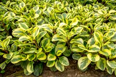 Peperomia plants background royalty free stock image