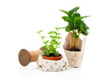 Peperomia radiator plant seedling and coffee plant tree Stock Photo