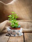 Peperomia radiator plant seedling Royalty Free Stock Photos