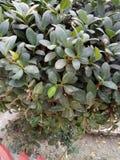 Peperomia Tetraphylla fotografia stock