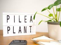 Peperomioides de Pilea ou Urticaceae d'usine de crêpe avec un lightb photos stock