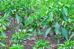Peperoncini caldi verdi nel giardino immagini stock
