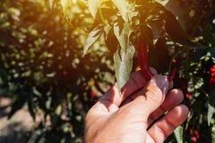 Peperoncini d'esame dell'agricoltore coltivati in giardino organico Fotografia Stock