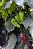 Peperoncini di Jolokia Immagini Stock