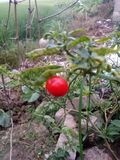 Peperoncini rossi rossi Immagine Stock