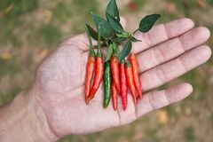 Peperoncini rossi rossi caldi e piccanti sulla mano umana, peperoncino rosso fresco Fotografia Stock Libera da Diritti