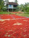 Peperoncini rossi dei polli N fotografia stock