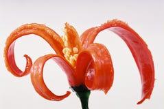 Peperoncini rossi della decorazione Fotografia Stock