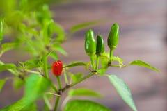 Peperoncini rossi e verdi su un ramo Immagine Stock Libera da Diritti