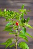 Peperoncini rossi e verdi su un ramo Fotografia Stock Libera da Diritti