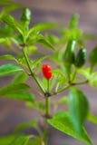 Peperoncini rossi e verdi su un ramo Immagine Stock