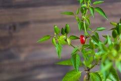 Peperoncini rossi e verdi su un ramo Immagini Stock