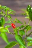 Peperoncini rossi e verdi su un ramo Fotografie Stock Libere da Diritti