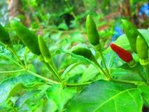 Peperoncini rossi rossi Fotografia Stock Libera da Diritti