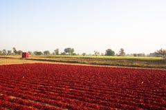 Peperoncini rossi rossi asciutti Fotografia Stock
