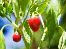 Peperoncini rossi rossi rotondi Fotografia Stock