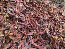 Peperoncini rossi secchi Immagini Stock Libere da Diritti