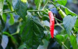 Peperoncini rossi sull'albero dei peperoncini rossi Fotografia Stock