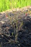 Peperoncini secchi sulla piantagione dei peperoncini rossi dell'albero Fotografie Stock