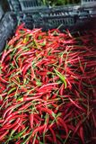 Peperoncini tailandesi rossi, arancio e gialli variopinti misti Fotografia Stock