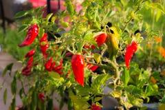 Peperoncino di Bhut Jolokia, uno del pepe più caldo nel mondo La casa ha fatto il giardinaggio, alimento biologico, fuoco seletti Fotografia Stock