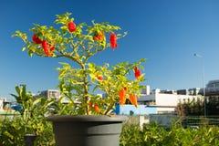 Peperoncino di Bhut Jolokia, uno del pepe più caldo nel mondo La casa ha fatto il giardinaggio, alimento biologico, fuoco seletti Fotografia Stock Libera da Diritti