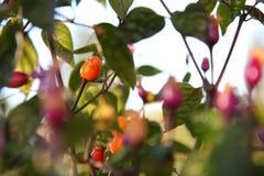 Peperoncino rosso boliviano dell'arcobaleno Fotografia Stock Libera da Diritti