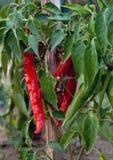 Peperoncino rosso crescente Immagine Stock