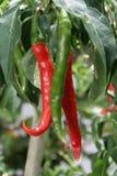 Peperoncino rosso dei peperoni caldi Fotografia Stock