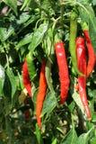 Peperoncino rosso dei peperoni caldi nelle piante Immagini Stock Libere da Diritti