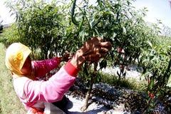 Peperoncino rosso del raccolto Immagine Stock