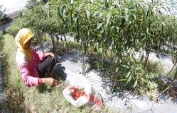 Peperoncino rosso del raccolto Immagini Stock