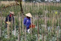 Peperoncino rosso del raccolto Immagini Stock Libere da Diritti