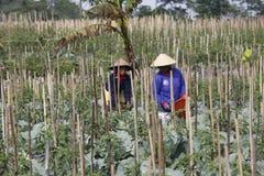 Peperoncino rosso del raccolto Fotografia Stock Libera da Diritti