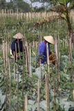 Peperoncino rosso del raccolto Fotografie Stock Libere da Diritti