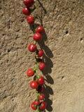 Peperoncino rosso di Cascabel fotografia stock libera da diritti