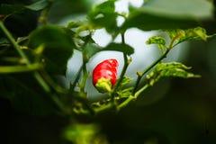 Peperoncino rosso il colore rosso 4 Fotografie Stock Libere da Diritti