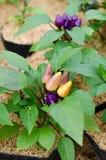 Peperoncino rosso ornamentale - peperoncino rosso boliviano dell'arcobaleno Fotografia Stock Libera da Diritti