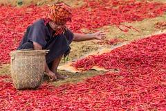 Peperoncino rosso rosso Kalaw lo Stato Shan Myanmar Fotografia Stock Libera da Diritti