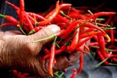 Peperoncino rosso rosso in mano della signora anziana Fotografia Stock