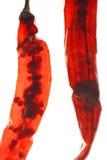 Peperoncino rosso secco trasparente Immagine Stock Libera da Diritti