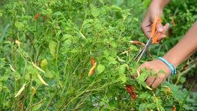 Peperoncino rosso tailandese del raccolto delle donne al giardino