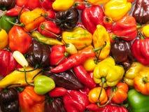 Peperoncino rosso variopinto Immagini Stock