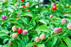 Peperoncino rosso variopinto sulla pianta Immagini Stock