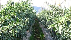 Peperoncino verde nel giardino, città del Lat del Da, provincia di Lam Dong, Vietnam stock footage