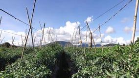 Peperoncino verde nel giardino, città del Lat del Da, provincia di Lam Dong, Vietnam archivi video